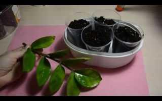 Как размножить замиокулькас листом в домашних условиях