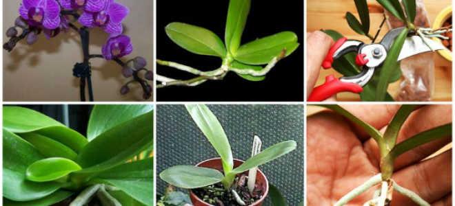 Как размножаются комнатные орхидеи