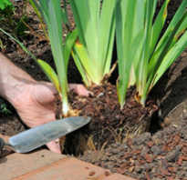 Как посадить ирисы на даче