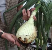 Как посадить лук эксибишен