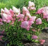 Как размножить гортензию ванилла фрейз черенкованием осенью