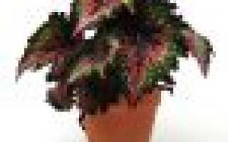 Как размножить клубневую бегонию листом
