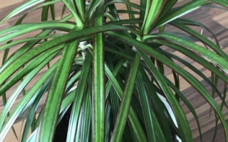 Как посадить драцену с корнями в горшок