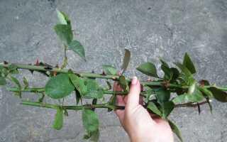 Как отрастить розу из черенка