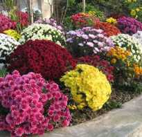 Как рассадить хризантемы весной