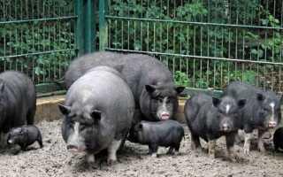 Как построить свою свиноферму