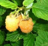 Как посадить желтую малину