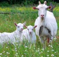 Как определить котная коза или нет