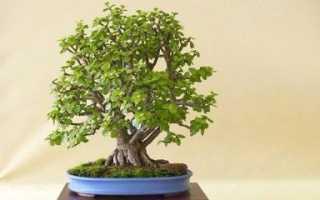 Как правильно формировать толстянку в дерево