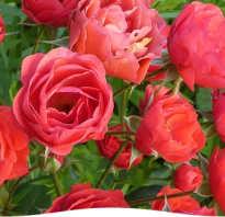 Как правильно растить розы