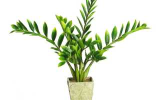 Как пересадить цветок долларовое дерево
