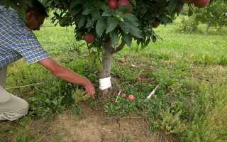 Как размножить яблоню отводками