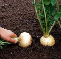 Как правильно выращивать репу