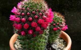 Как размножаются кактусы в природе