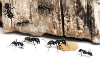 Как развести борную кислоту от муравьев