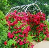 Как оформить вьющиеся розы