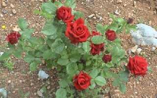 Как посадить розу кустовую в грунт