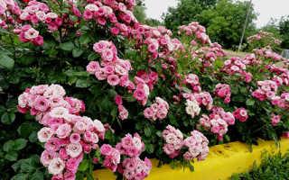 Как правильно посадить бордюрные розы осенью