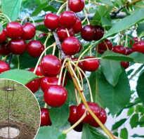 Как посадить саженцы вишни