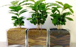 Как растет кофейное дерево фото
