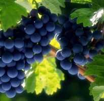 Как правильно подготовить виноград к зимовке