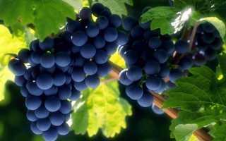 Как подготовить к зиме виноград первого года