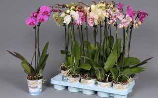Как разделить фаленопсис в домашних условиях