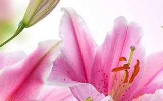 Как правильно посадить цветы лилии