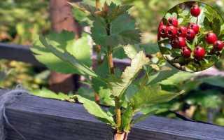 Как посадить боярышник осенью черенками
