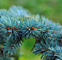 Как посадить голубую ель дома
