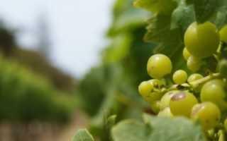 Как посадить виноград в землю