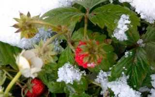 Как подготовить садовую клубнику к зиме