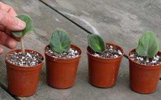 Как посадить фиалку из листа в домашних