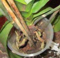 Как оживить орхидею фаленопсис засохли корни