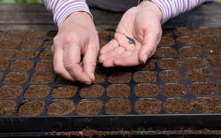 Как посадить семена лука дома