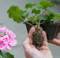 Как правильно посадить герань черенками